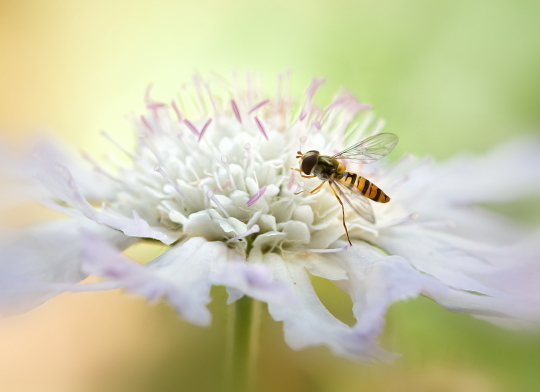 Hoverfly on Scabious