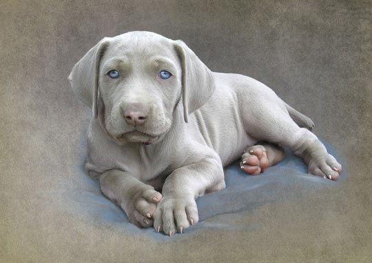 Weimaraner Puppy Photo Illustration