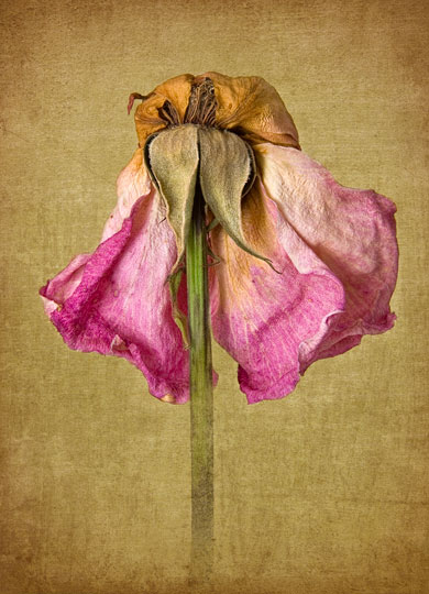 Dried Rose Final